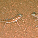 Namib Giant Ground Gecko - Photo (c) herpguy, all rights reserved, uploaded by Paul Freed