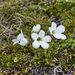 Ourisia glandulosa - Photo (c) David Lyttle, all rights reserved