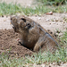 Plains Pocket Gopher - Photo (c) donalsg, all rights reserved