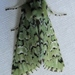 Major Sallow - Photo (c) John Ratzlaff, all rights reserved, uploaded by J. Allen Ratzlaff