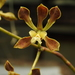 Encyclia - Photo (c) FRANCISCO HERRERA, all rights reserved