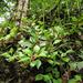 Peperomia pereskiifolia - Photo (c) Alfredo Dorantes Euan, kaikki oikeudet pidätetään