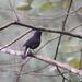 Myiomela leucura montium - Photo (c) sing PJ, όλα τα δικαιώματα διατηρούνται