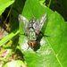 Mystacella chrysoprocta - Photo (c) pbedell, todos os direitos reservados, uploaded by pbedell
