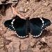 Mariposa Parche Simple - Photo (c) adel-fridus, todos los derechos reservados