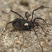 Gold-spotted Harvestman - Photo (c) Henk Wallays, all rights reserved