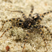 Sand Bear Spider - Photo (c) Henk Wallays, all rights reserved