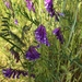 Winter Vetch - Photo (c) Guy Miller, all rights reserved
