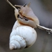 Rabdotus mooreanus - Photo (c) Deborah, כל הזכויות שמורות