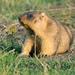 Marmota de Las Estepas - Photo (c) Sergiy Grek, todos los derechos reservados