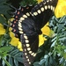 Papilio scamander - Photo (c) mjperrelli, todos los derechos reservados