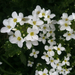 Garden Arabis - Photo (c) Sarah Jennifer, all rights reserved