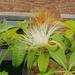 Pachira macrocarpa - Photo (c) Patricia Tang, todos los derechos reservados