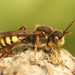 Panzer's Nomad Bee - Photo (c) Henk Wallays, all rights reserved