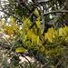 Dendrophthora clavata - Photo (c) Ivan Rivera Gallego, todos los derechos reservados