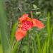 Flores del Tigre - Photo (c) Anne, todos los derechos reservados