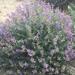 Lupinus chamissonis - Photo (c) triple_a_19, todos los derechos reservados