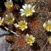 Mammillaria carretii - Photo (c) Lex García, all rights reserved