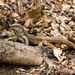 Giant Whiptail - Photo (c) Proyecto Heloderma, all rights reserved