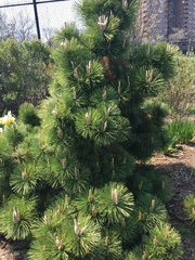 Image of Pinus thunbergii