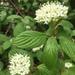 Cornus sericea - Photo (c) adrianakolev, כל הזכויות שמורות