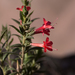 Loeselia mexicana - Photo (c) Anne, όλα τα δικαιώματα διατηρούνται