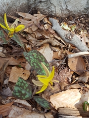 Erythronium americanum image