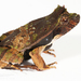 Perez's Snouted Frog - Photo (c) J.P. Lawrence, all rights reserved