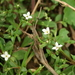 Houstonia micrantha - Photo (c) mayfly1963, todos los derechos reservados, uploaded by mayfly1963