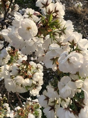 Image of Rhododendron albiflorum
