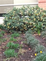 Image of Abutilon grandifolium