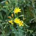 Blackstonia grandiflora - Photo (c) Tig, todos os direitos reservados
