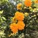 Kerria japonica plena - Photo (c) irmadoca, todos los derechos reservados