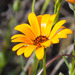 Cape Marigold - Photo (c) BJ Stacey, all rights reserved