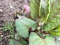 Reynoutria japonica image