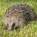 Common Hedgehog - Photo (c) Henk Wallays, all rights reserved