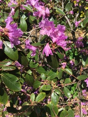 Image of Rhododendron catawbiense