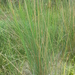 Juncus sarophorus - Photo (c) Nick Saville, todos los derechos reservados