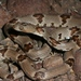 Texas Lyre Snake - Photo (c) Toby Hibbitts, all rights reserved
