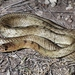 Western Coachwhip - Photo (c) Toby Hibbitts, all rights reserved