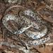 Coluber constrictor anthicus - Photo (c) Toby Hibbitts, todos los derechos reservados