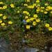 Helianthemum alpestre - Photo (c) foto G.HAAS, algunos derechos reservados (CC BY-NC-SA)