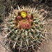 San Diego Barrel Cactus - Photo (c) patmc9, all rights reserved