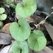Dichondra carolinensis - Photo (c) jfjlanier, todos los derechos reservados