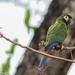 Maracaná Cuello Dorado - Photo (c) Jake Mohlmann, todos los derechos reservados