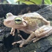 Drylands Tree Frog - Photo (c) lgmosquera, all rights reserved