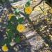 Kerria japonica f pleniflora - Photo (c) lennnaa, todos los derechos reservados