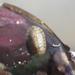 Rhyssoplax komaiana - Photo (c) cherrycheung, todos los derechos reservados