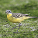 Eastern Yellow Wagtail - Photo (c) chan_siu_yuen, all rights reserved