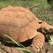 Tortuga Africana de Espolones - Photo (c) Deborah Kathleen, todos los derechos reservados